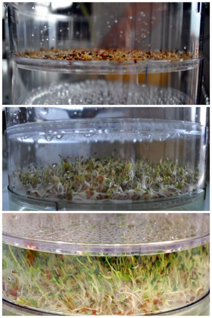 uncovered seeds for microgreens