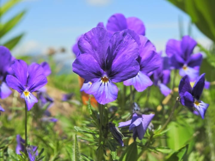 viola declinata shade perennial plant