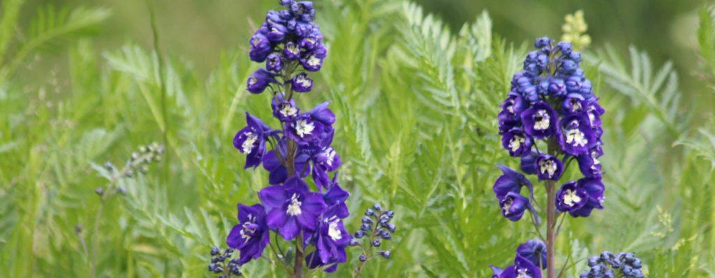 violet delphinium flowers