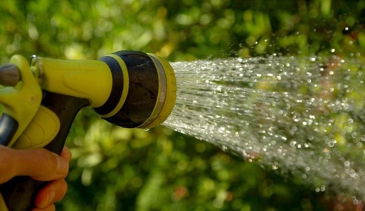 watering citronella plant
