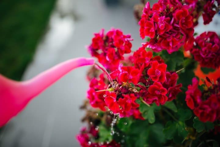 watering the geranium plant