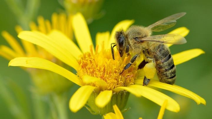 western honey bee apis mellifera