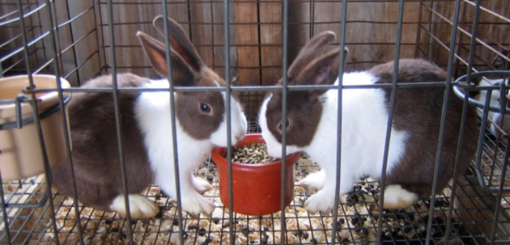 white brown bunnies in a mesh cage with poops collected underneath