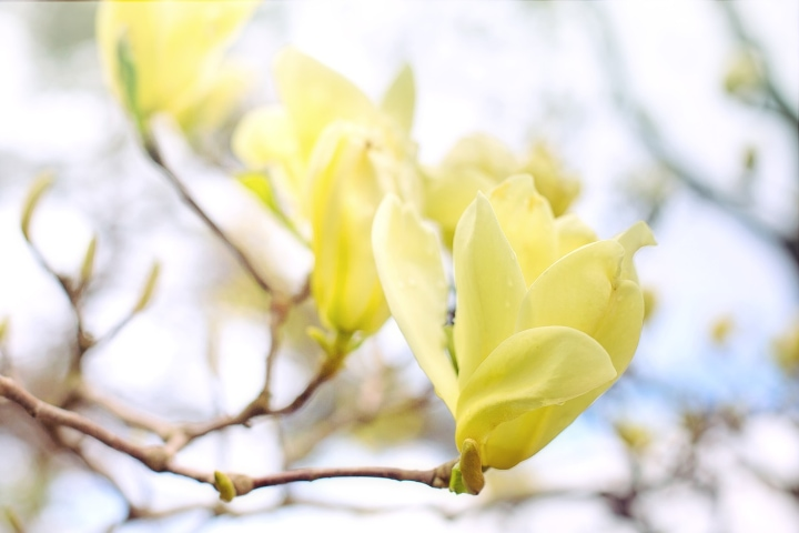 yellow butterfly magnolia tree