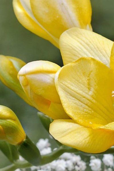 yellow freesia flower bloom