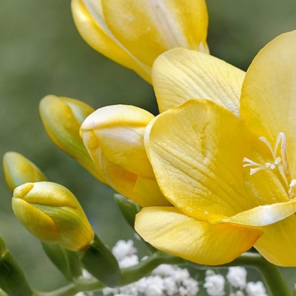 yellow freesia flower bloom