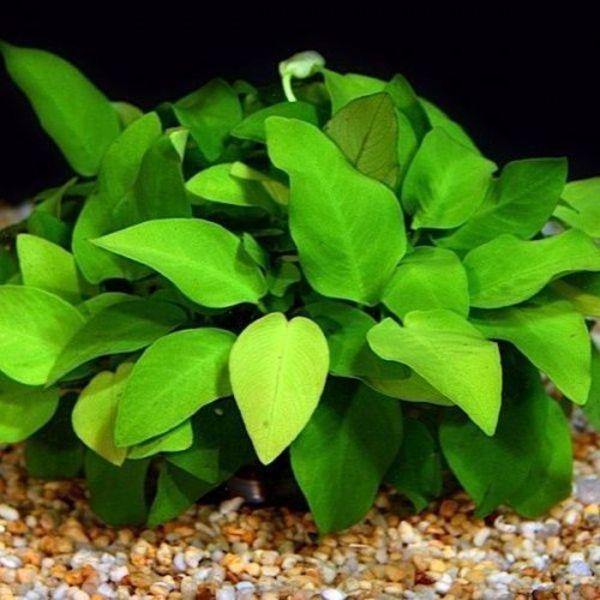 aquarium plants anubias