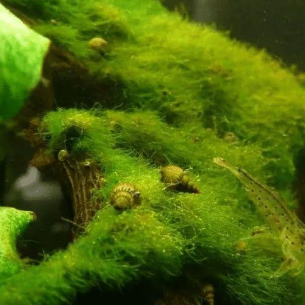 aquarium plants moss