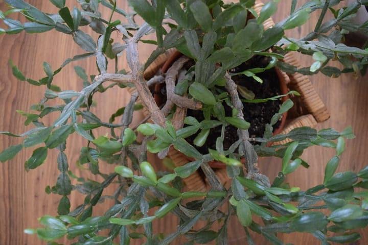 big succulent