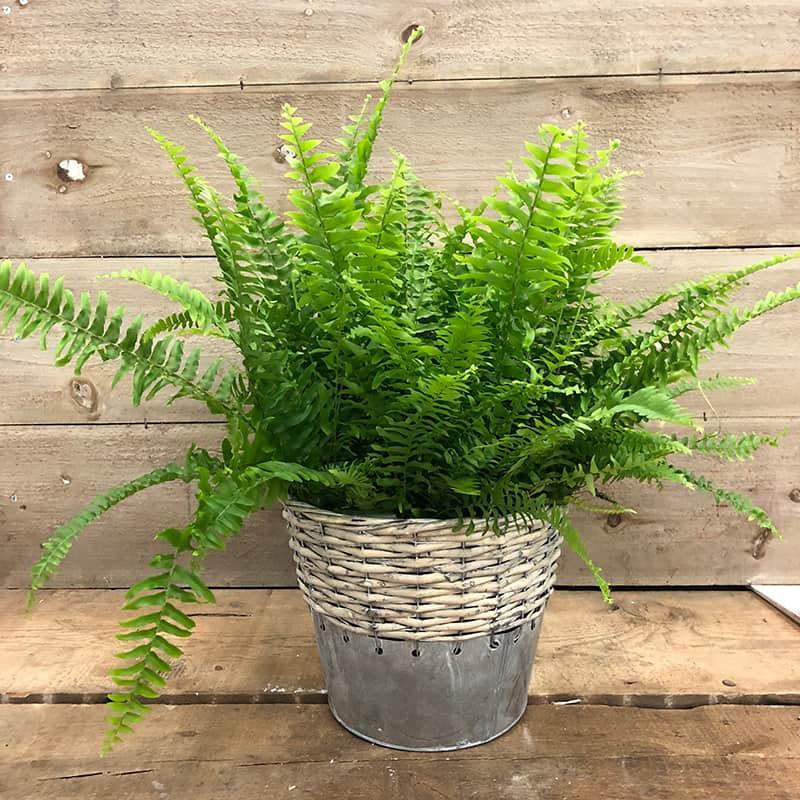 bostorn fern indoor plant