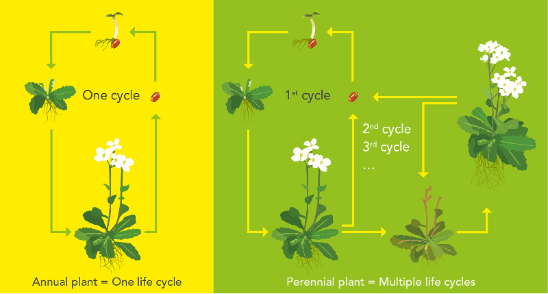 difference between annuals and perennials