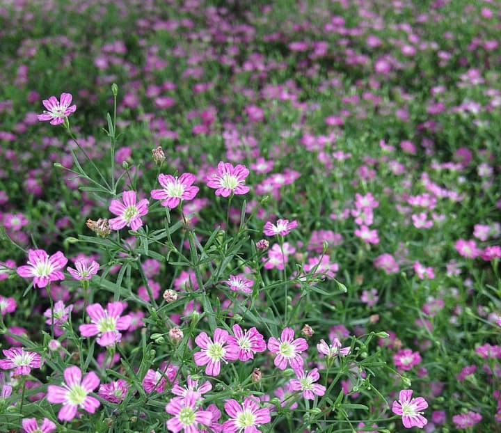 flower ground cover in the front lawn garden