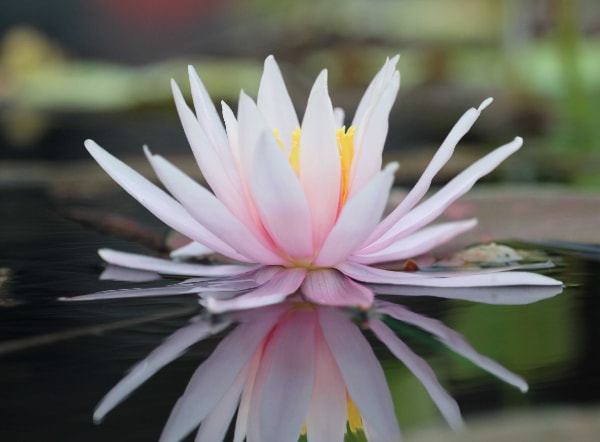 flowering water lily plant