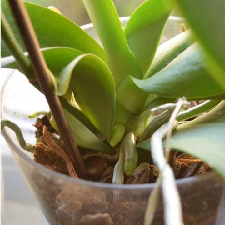 glass orchid plant pot