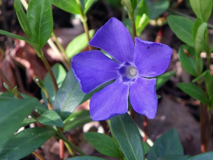 periwinkle in the front lawn garden