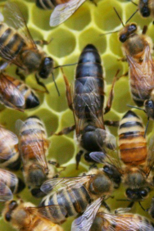 apis mellifera queen bee