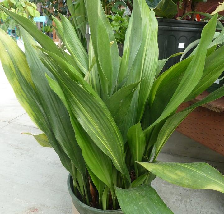 aspidistra elatior indoor plant