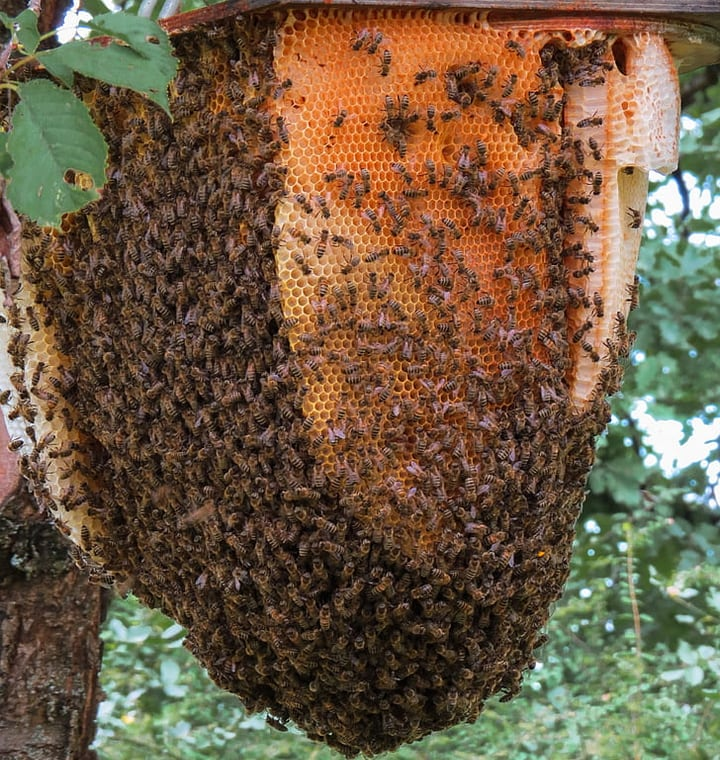 bee hive attached on a tree branch