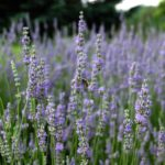 bee in lavender garden