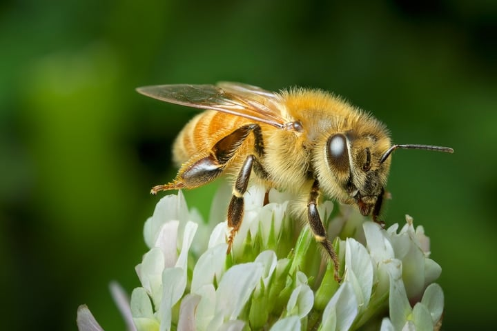 bee on a clover