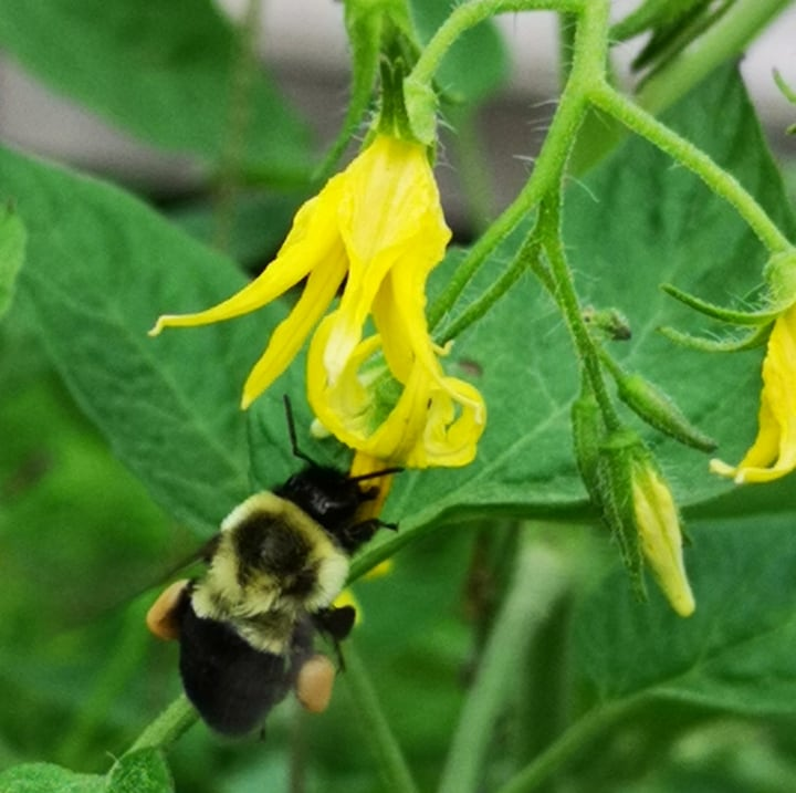 bee on a tomato flower
