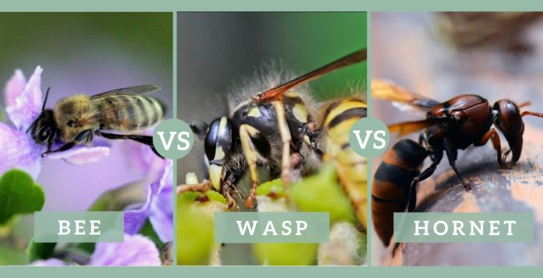 bee vs wasp vs hornet guide