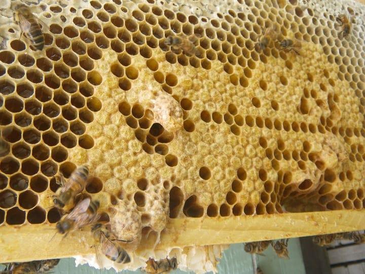 bees emergency queen cells