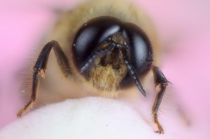 bees eyes