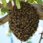 bees swarming in spring