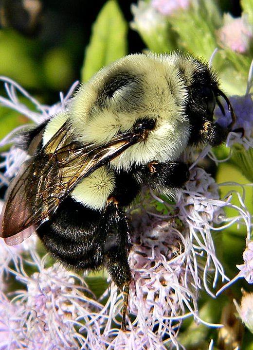 bombus impatiens queen bee