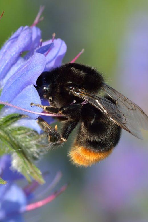 bombus lapidarius queen bee