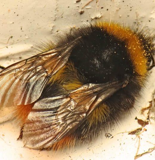 bombus pratorum queen bumblebee