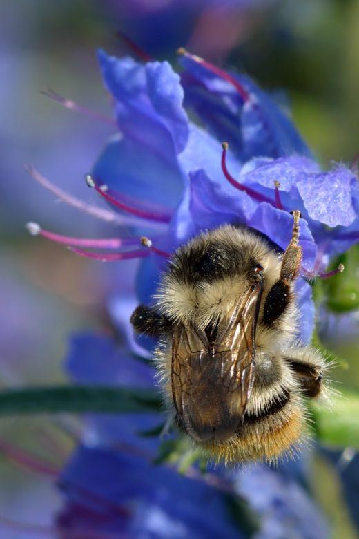 bombus sylvarum queen bee