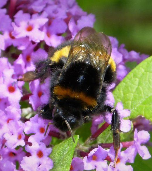 bombus terrestris queen bee