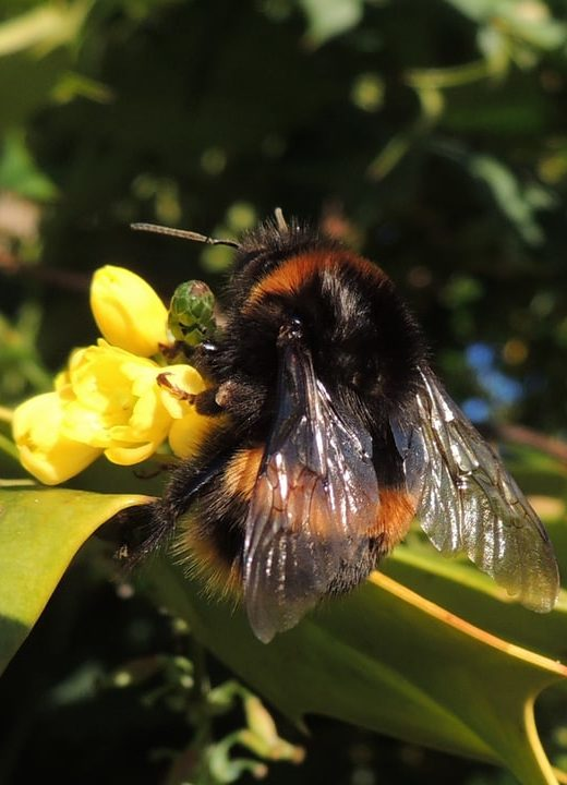 buff tailed bombus terrestris queen bumblebee