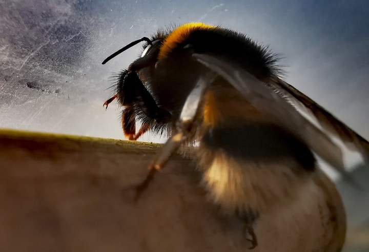 bumblebee stinger
