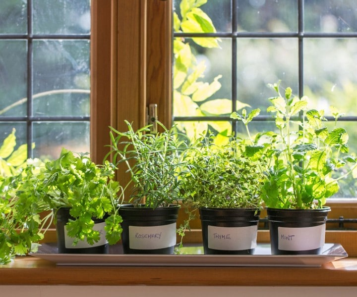 can herbs grow indoors