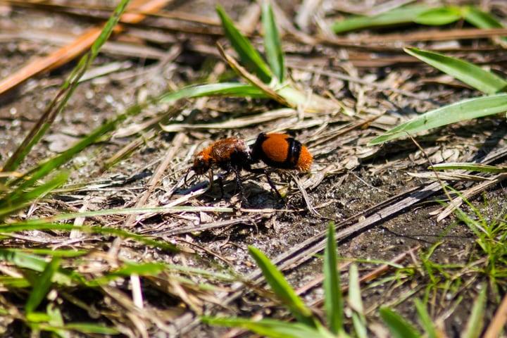 cow killer wasp or eastern velvet ant