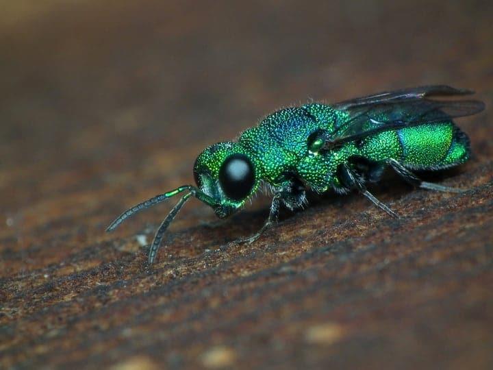 cuckoo wasps
