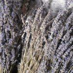 dead lavender plant