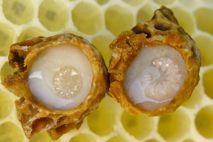 developing queen bee in royal jelly