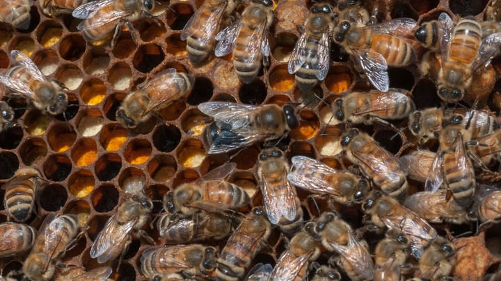 difficult to spot queen bee