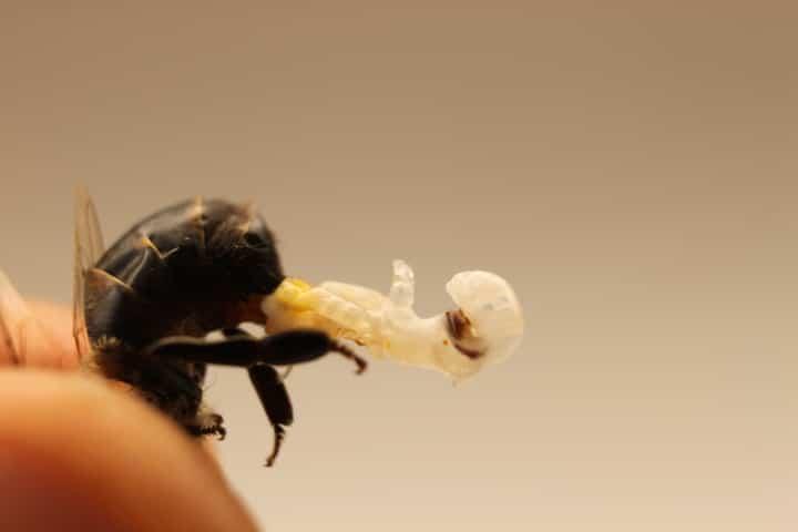drone bee genitals