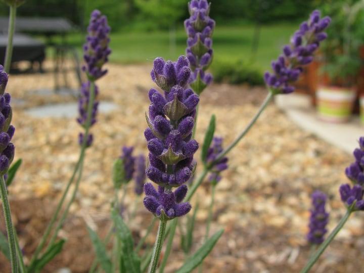english lavender hidcote plant