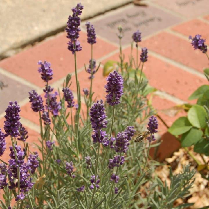 english lavender lavenite petite plant