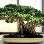 ficus bonsai plant help with anxiety