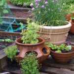 herbs planted together