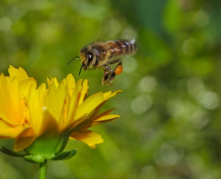 honey bee flying towards a flower