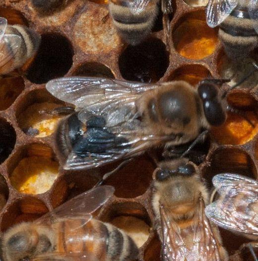 italian honey queen bee