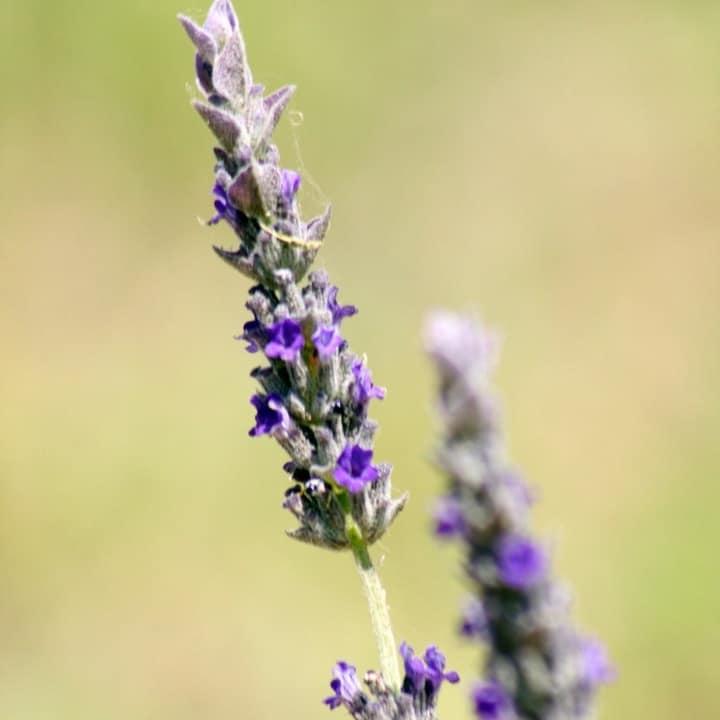 lavandula intermedia grosso lavender plants